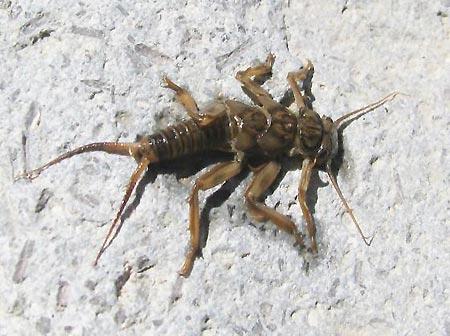 Nymphes et larves aquatiques