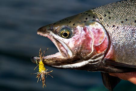Pêche à la truite à la mouche sèche